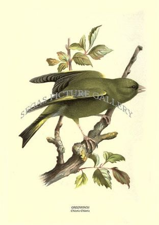 GREENFINCH - Chloris Chloris